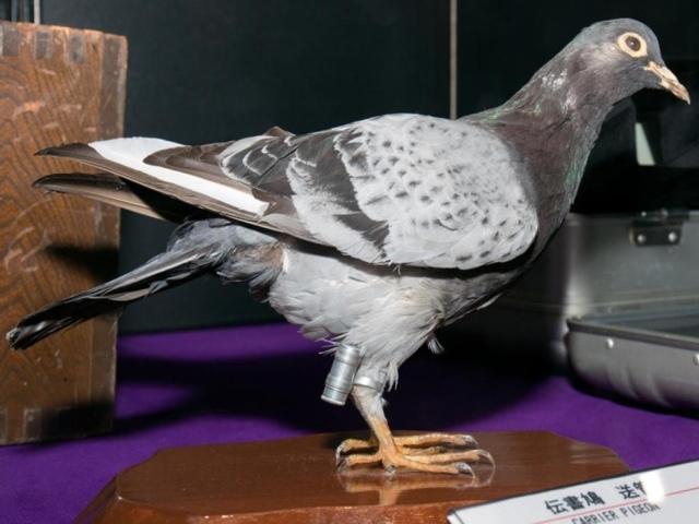 Почтовые голуби: описание породы с фото, условия содержания, кормление, дрессировка и разведение