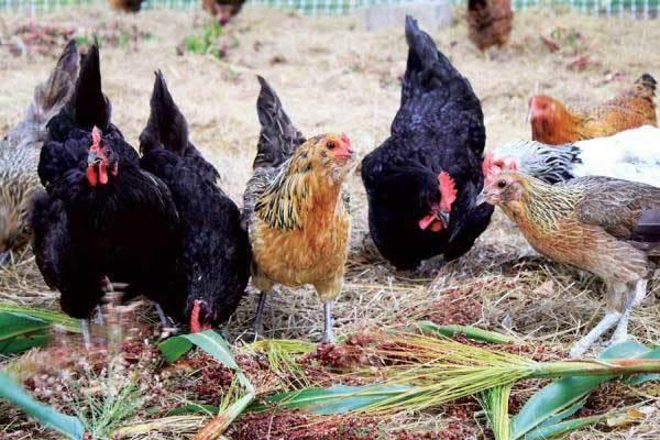 Как увеличить яйценоскость кур зимой: правила содержания несушек и полезные советы