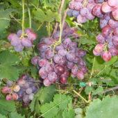 Как вырастить виноград из косточки: инструкции, подготовка, проращивание, посадка в грунт и уход