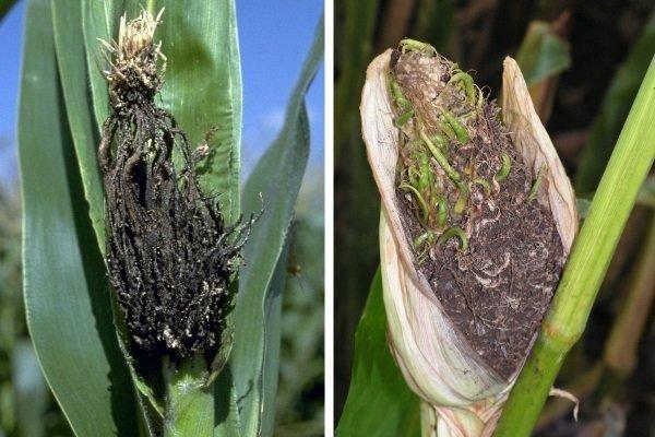 Болезни и вредители кукурузы: описание, фото, симптомы, методы борьбы и профилактики