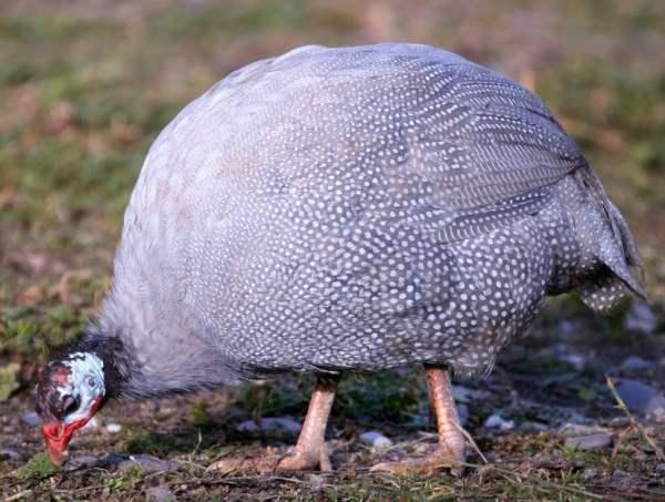 Цыплята цесарки: правила содержания, ухода и кормления
