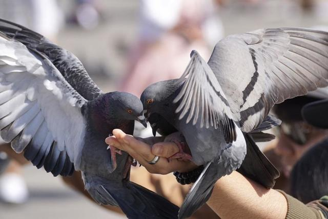 Что едят голуби (домашние и уличные): рацион, подкормки, поение