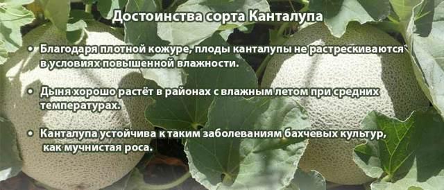 Дыня Канталупа: описание, сорта, посадка, уход, отзывы и фото