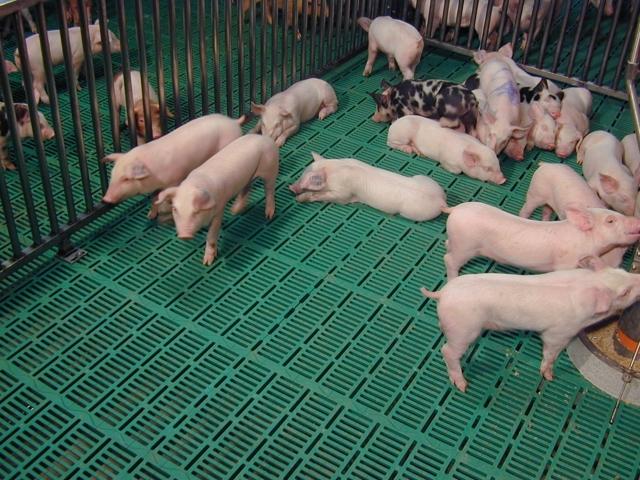 Свинарник своими руками: расчеты, инструкция, обустройство