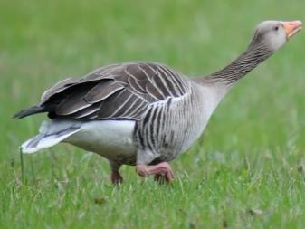 Китайские гуси: особенности породы, фото, содержание серых и белых подвидов