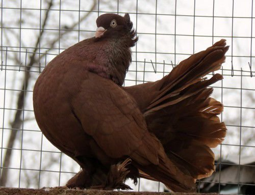 Волжские ленточные голуби: описание характеристик с фото, особенности содержания