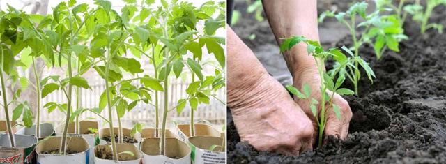 Томат Подснежник: описание сорта, фото, посадка, выращивание и уход, плюсы и минусы, отзывы