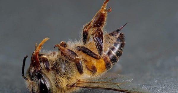 Рабочие пчелы: функции, инстинкты, продолжительность жизни