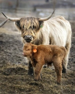 Коровы породы хайленд: описание, фото, особенности содержания, достоинства и недостатки