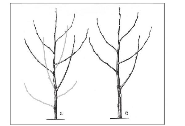 Обрезка вишни весной: сроки, методы и инструкции