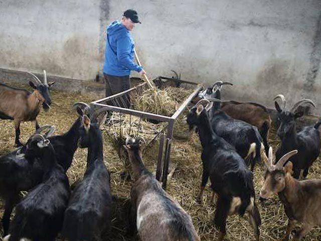 Козоводство для начинающих: с чего начать, выбор козы, условия содержания и разведение коз