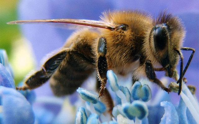 Северная пчела: особенности породы и мёда, преимущества и недостатки, зимовка, приобретение