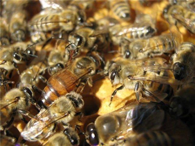Карпатская порода пчел: характеристика, описание содержания, отзывы