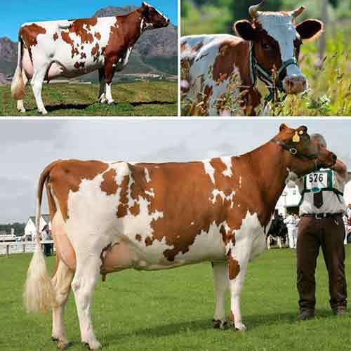 Голландская порода коров: описание, фото, уход, продуктивность, содержание и кормление