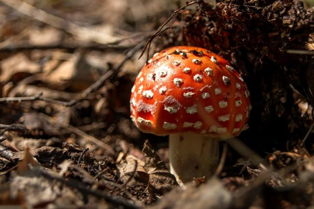 Грибы Ленинградской области (съедобные и ядовитые): фото, описание, где растут и с кем можно спутать?