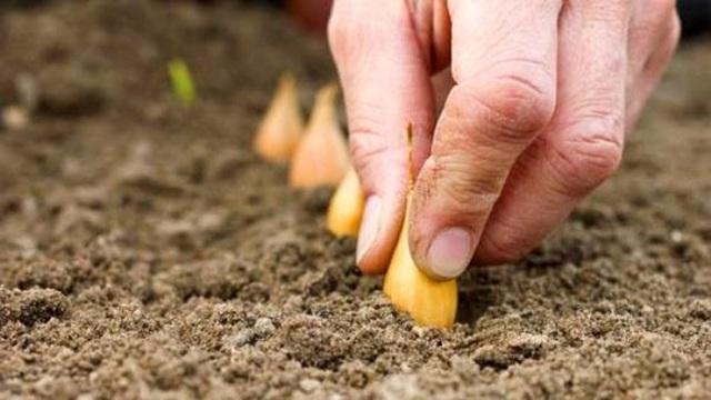 Озимый лук: преимущества, сорта, сроки и способы посадки, уход