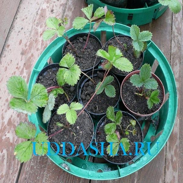 Посадка клубники весной: сроки, методы, инструкции и уход