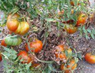 Томат Вождь краснокожих: описание гибрида, фото, посадка, выращивание и уход, отзывы