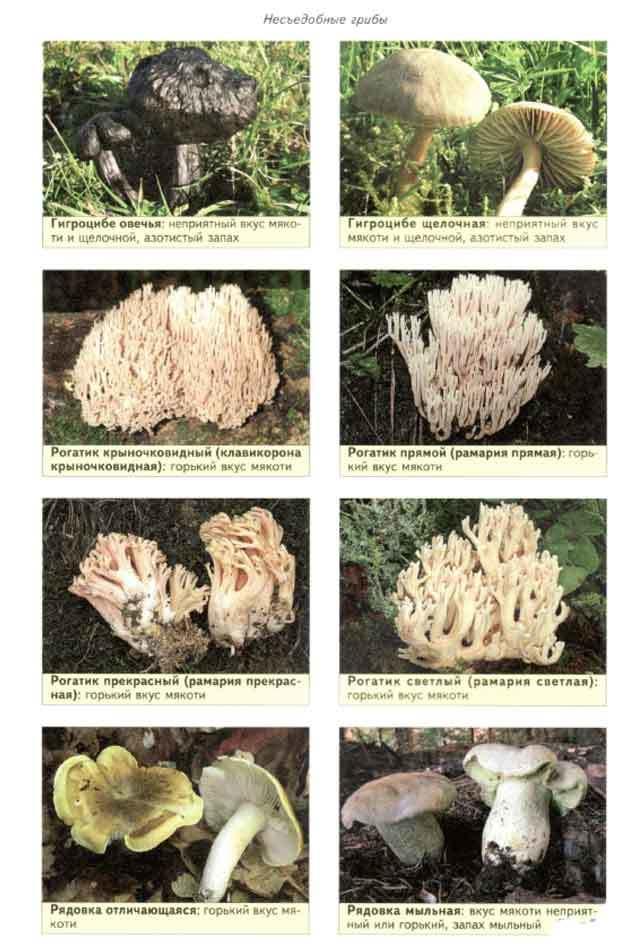 все грибы фото с названиями съедобные и несъедобные каталог
