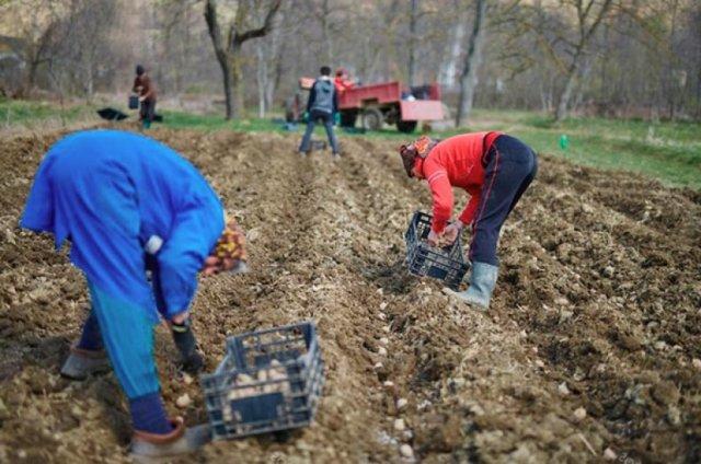 Картофель Краса: описание сорта, фото, как сажать и ухаживать за корнеплодом?