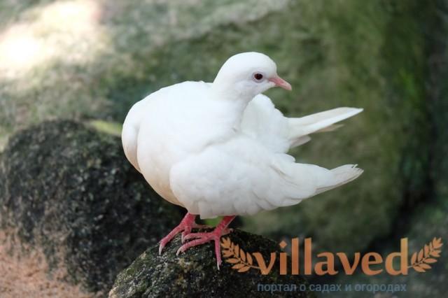 Вакцина Ла-Сота для голубей: инструкция по применению, состав, рекомендации