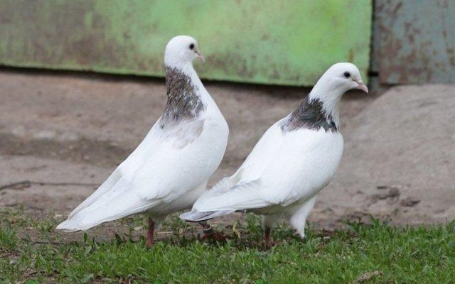 Бойные голуби: описание пород с фото, условия содержания, кормления, разведение