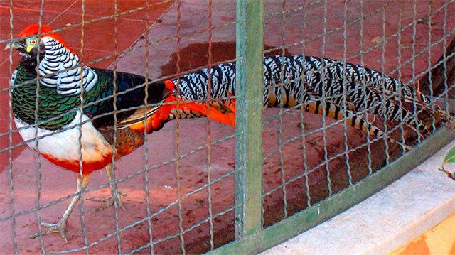 Вольер для фазанов своими руками: виды, строительство, материал, обустройство и уход
