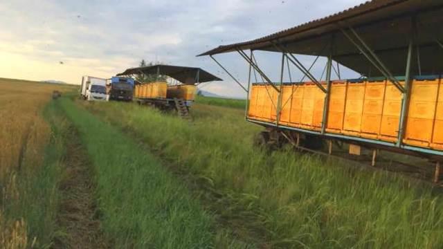 Кочевое пчеловодство: выбор места, перевозка ульев, преимущества и недостатки