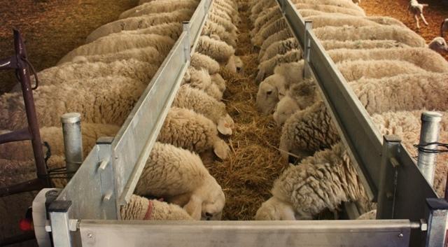 Кормление овец: виды корма, нормы, рацион и вредная пища