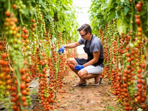 Томат Рапунцель: описание сорта, фото, посадка и выращивание, отзывы