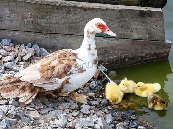 Индоутка (Мускусная утка): описание, фото, содержание и разведение, отзывы