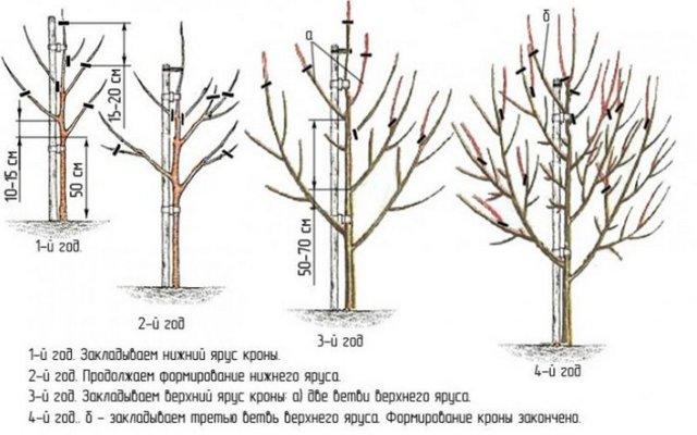 Груша Завея: описание сорта с фото, выращивание и уход