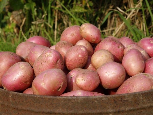 Картофель Алладин: описание сорта, характеристика, фото, посадка и выращивание