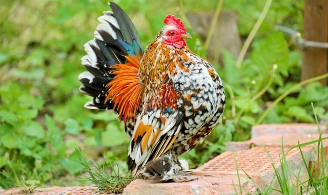 Порода кур Бентамка: описание, фото, виды, содержание, отзывы