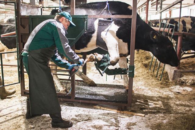 Обрезка копыт у коров: зачем нужна, как проводится подручными инструментами и в станке?