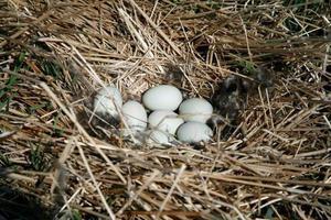Когда начинают нестись домашние гуси: сколько яиц несет гусыня в год и другая важная информация