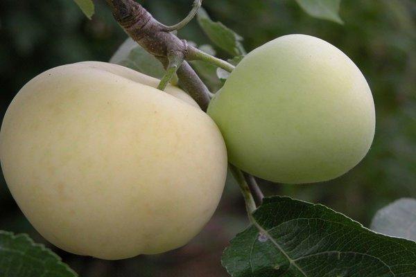 Яблоня Белый налив: описания сорта, фото, посадка, уход и сбор урожая