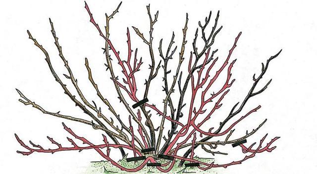 Обрезка крыжовника осенью: пошаговая инструкция, схемы, советы