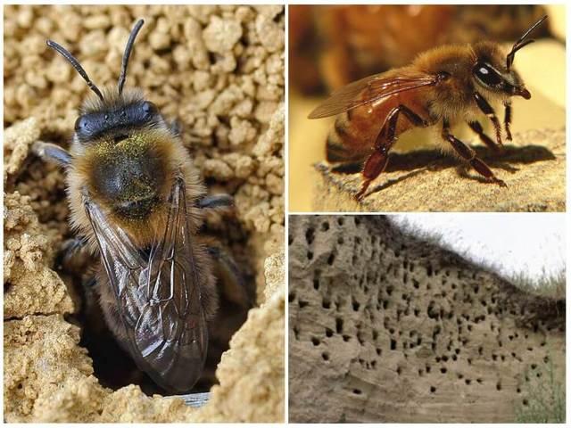 Земляные пчелы: описание, виды, польза, вред и как избавиться?