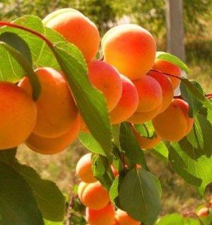 Абрикос Краснощекий: описание сорта с фото, посадка и агротехника