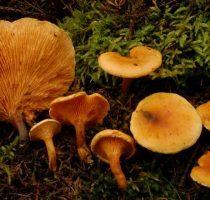 Осение съедобные грибы: фото, названия, описание видов