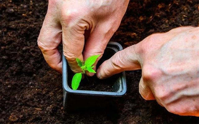 Томат Любаша: описание и особенности гибрида, выращивание и уход