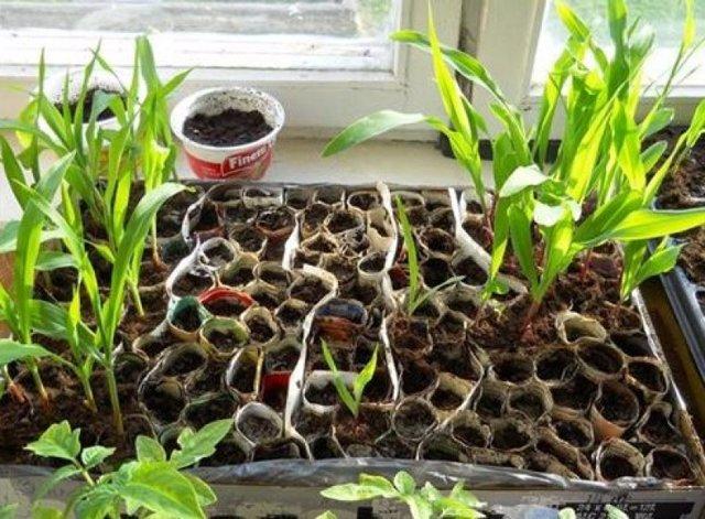 Выращивание кукурузы: выбор сорта, посадка, уход и полезные советы