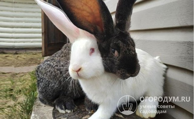 Кролик Ризен: описание породы с фото, содержание, разведение, отзывы