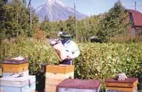 Замена маток в семьях пчел: методики, пошаговые инструкции
