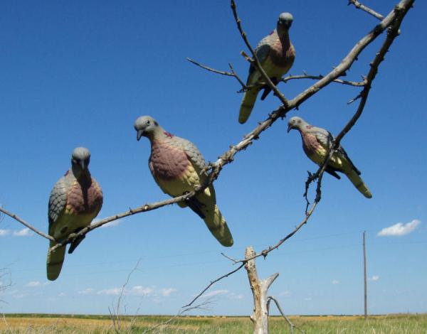 Вяхирь (дикий лесной голубь): описание, фото, распространение, образ жизни, охота
