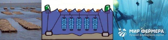 Разведение мидий в домашних условиях: вложения, окупаемость, технологии