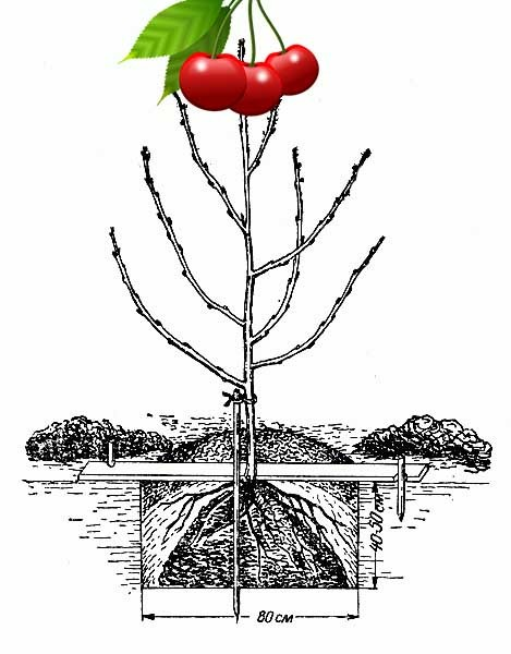 Посадка вишни весной: подготовка, инструкции, уход