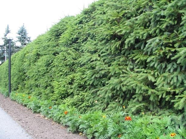 Кустарники для живой изгороди: быстрорастущие, вечнозеленые, колючие, хвойные