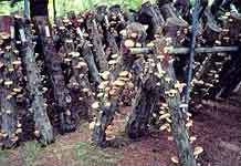 Выращивание грибов шиитаке: интенсивный и экстенсивный метод